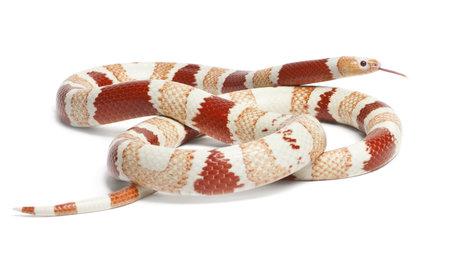 aberrant: Albino Tangerine aberrant Honduran milk snake, Lampropeltis triangulum hondurensis, in front of white background