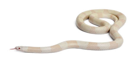 lampropeltis triangulum hondurensis: Snow Honduran milk snake, Lampropeltis triangulum hondurensis, in front of white background Stock Photo