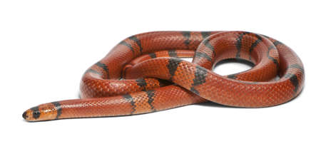 lampropeltis triangulum hondurensis: Hypomelanistic aberrant Honduran milk snake, Lampropeltis triangulum hondurensis, in front of white background Stock Photo