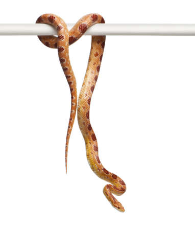 orange snake: Okeetee albino Corn Snake, Pantherophis guttatus, in front of white background