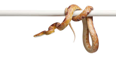 Okeetee albino Corn Snake, Pantherophis guttatus, in front of white background photo