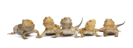 medium group of people: Central Bearded Dragons, Pogona vitticeps, in front of white background