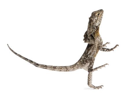 lagartija: Volante-necked lagarto, también conocido como el lagarto frilled, Chlamydosaurus kingii, delante de fondo blanco