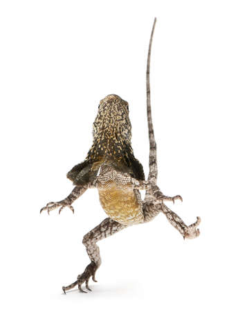 frilled: Frill-necked lizard, also known as the frilled lizard, Chlamydosaurus kingii, in front of white background