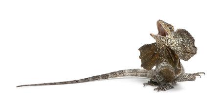 lagartija: Volante-necked lagarto, tambi�n conocido como el lagarto frilled, Chlamydosaurus kingii, delante de fondo blanco