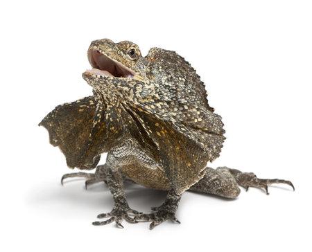 lagartija: Volante de cuello lagarto, tambi�n conocido como el lagarto de volantes, Chlamydosaurus kingii, delante de fondo blanco