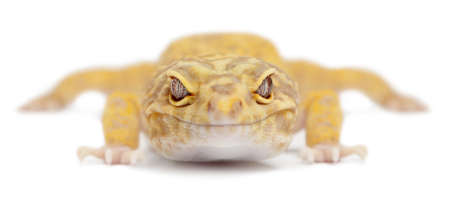 Aptor Leopard gecko, Eublepharis macularius, in front of white background photo