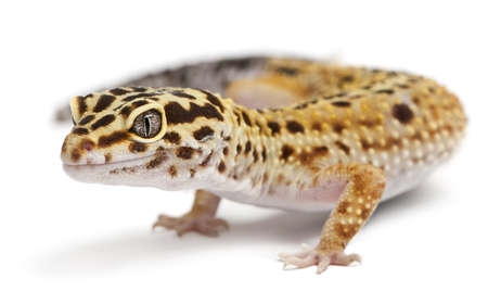 High yellow Leopard gecko, Eublepharis macularius, in front of white background photo