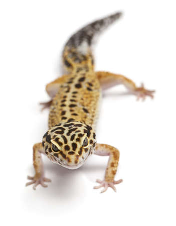 Tangerine Leopard gecko, Eublepharis macularius, in front of white background photo