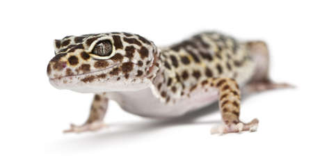 Leopard gecko, Eublepharis macularius, in front of white background photo