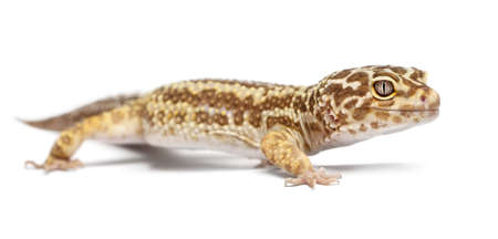 Albino Striped Leopard gecko, Eublepharis macularius, in front of white background photo