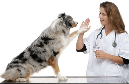 veterinary care: Australian Shepherd giving its paw to a vet in front of white background