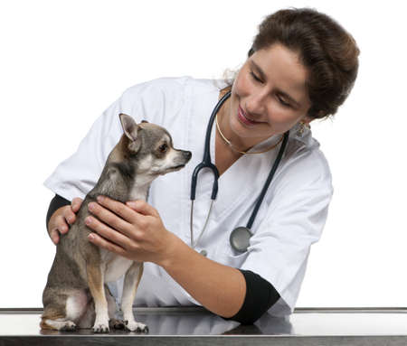 Vet examining a Chihuahua in front of white background Stock Photo - 12668043