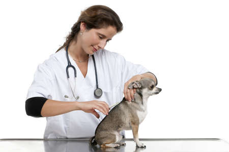 Vet giving an injection to a Chihuahua in front of white background Stock Photo - 12668013