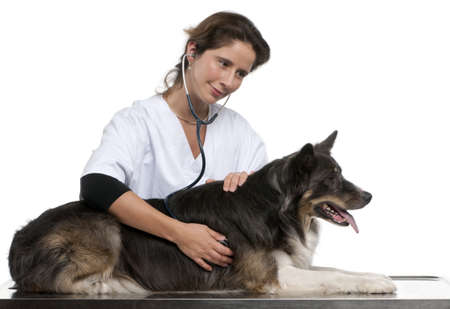 Vet examining a Border Collie with a stethoscope in front of white background Stock Photo - 12668003