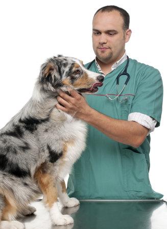 Vet examining an Australian Shepherd in front of white background photo