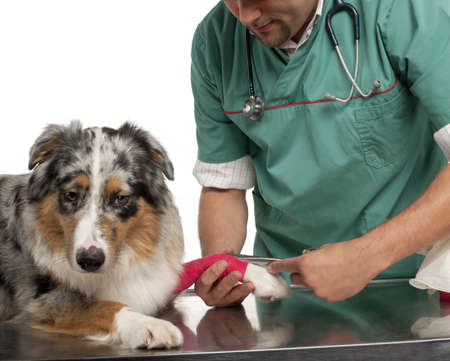 Vet wrapping a bandage around an Australian Shepherds paw in front of white background photo