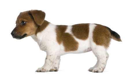 jack russel: Side view of a jack russel terrier puppy (3 months old)