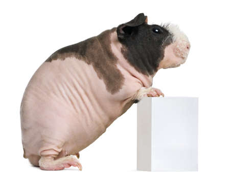 standing against: Hairless Guinea Pig standing against white background