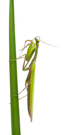 Female European Mantis or Praying Mantis, Mantis religiosa, in front of white background photo