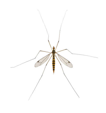 daddy long legs, mosquito, - nephrotoma scalaris Stock Photo - 13578218