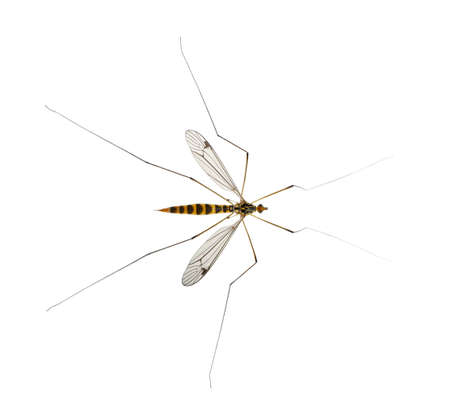 daddy long legs, mosquito, - nephrotoma scalaris photo