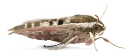 hyles: Spurge Hawk, Hyles Euphorbiae Stock Photo
