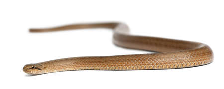 harmless: Smooth snake, Coronella austriaca, in front of white background