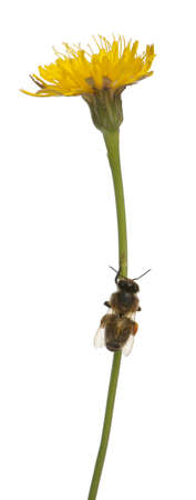mellifera: Western honey bee or European honey bee, Apis mellifera, carrying pollen in front of white background