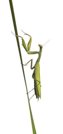 european mantis: Female European Mantis or Praying Mantis, Mantis religiosa, in front of white background Stock Photo