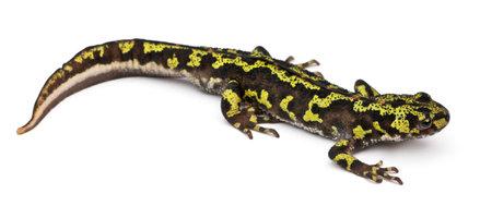 salamandre: Triton marbré - Triturus marmoratus Banque d'images