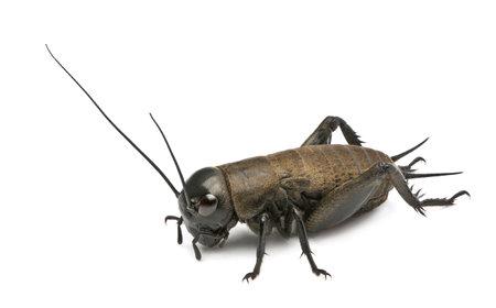 cricket: Campo di cricket del Mediterraneo - Gryllus bimaculatus Archivio Fotografico