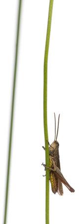 chorthippus: Grasshopper, Chorthippus montanus, on plant stem in front of white background