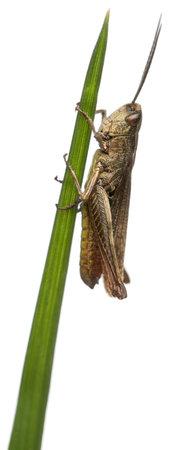 locust: Grasshopper, Chorthippus montanus, on plant stem in front of white background