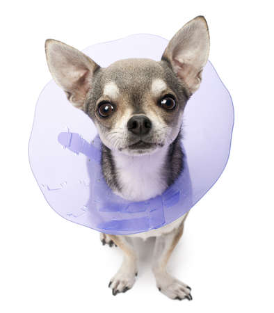 elizabethan: Chihuahua, 4 years old, wearing a space collar in front of white background Stock Photo