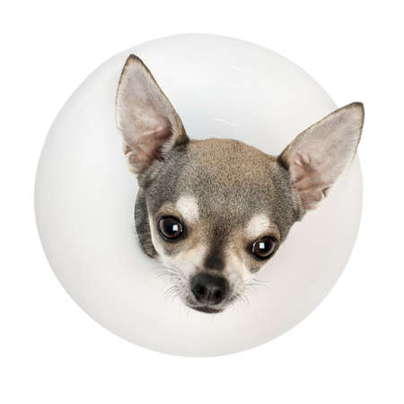 Chihuahua, 4 years old, wearing a space collar in front of white background photo