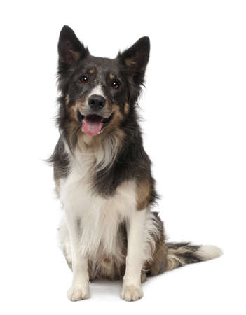 animal themes: Border collie in front of white background