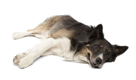 lying in front: Border collie lying in front of white background Stock Photo