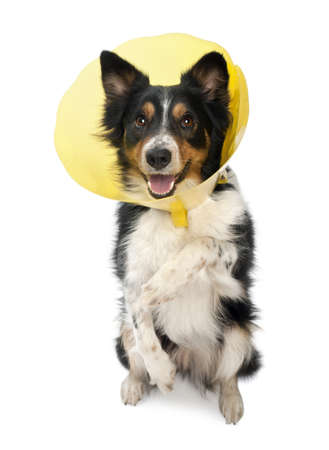white collars: Border collie wearing a space collar on hind legs in front of white background