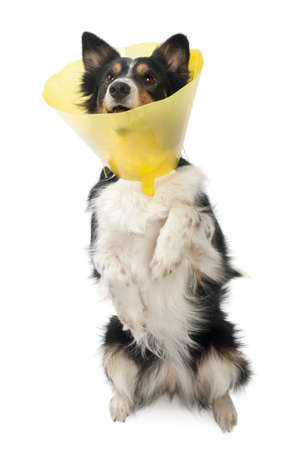 elizabethan: Border collie wearing a space collar on hind legs in front of white background