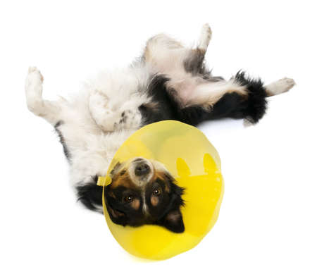 Border collie wearing a space collar lying in front of white background photo
