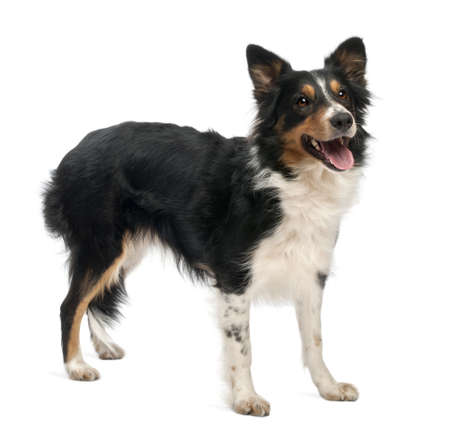 Border collie in front of white background photo