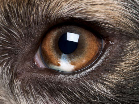 eye close up: Close-up of Australian Shepherds eye