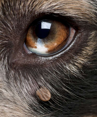 ticks: Close-up of Tick attached next to an Australian Shepherds eye