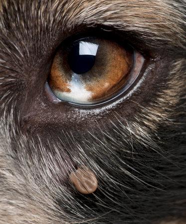 to tick: Primer plano de la garrapata se ha pegado junto a los ojos de un pastor australiano