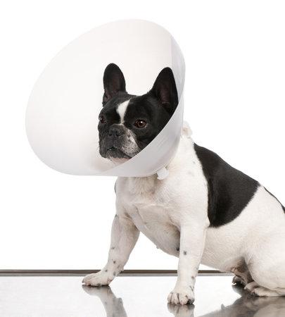Bulldog francés con un collar del espacio sobre un fondo blanco