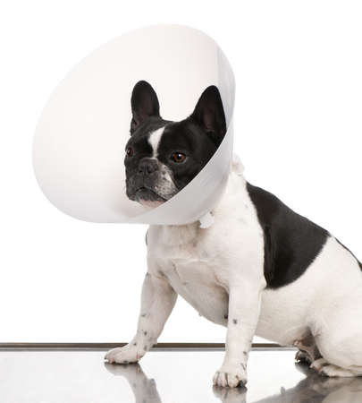 dog collar: French Bulldog wearing a space collar against a white background Stock Photo