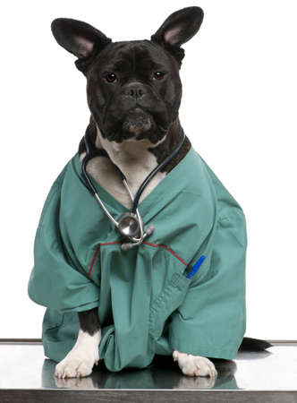 lab coat: Crossbreed dog, dog dressed in a doctor coat and wearing a stethoscope against a white background