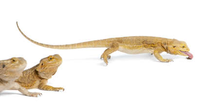 four species: Central Bearded Dragon, Pogona vitticeps, eating a cricket in front of white background