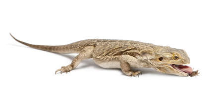 Central Bearded Dragon, Pogona vitticeps, eating a cricket in front of white background photo